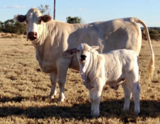 Mckinlay Chasmac Park Kody 420 as calf